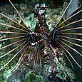Le poisson-lion pavane